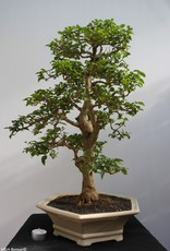 Bonsai Privet, Ligustrum sinense, no. 7843