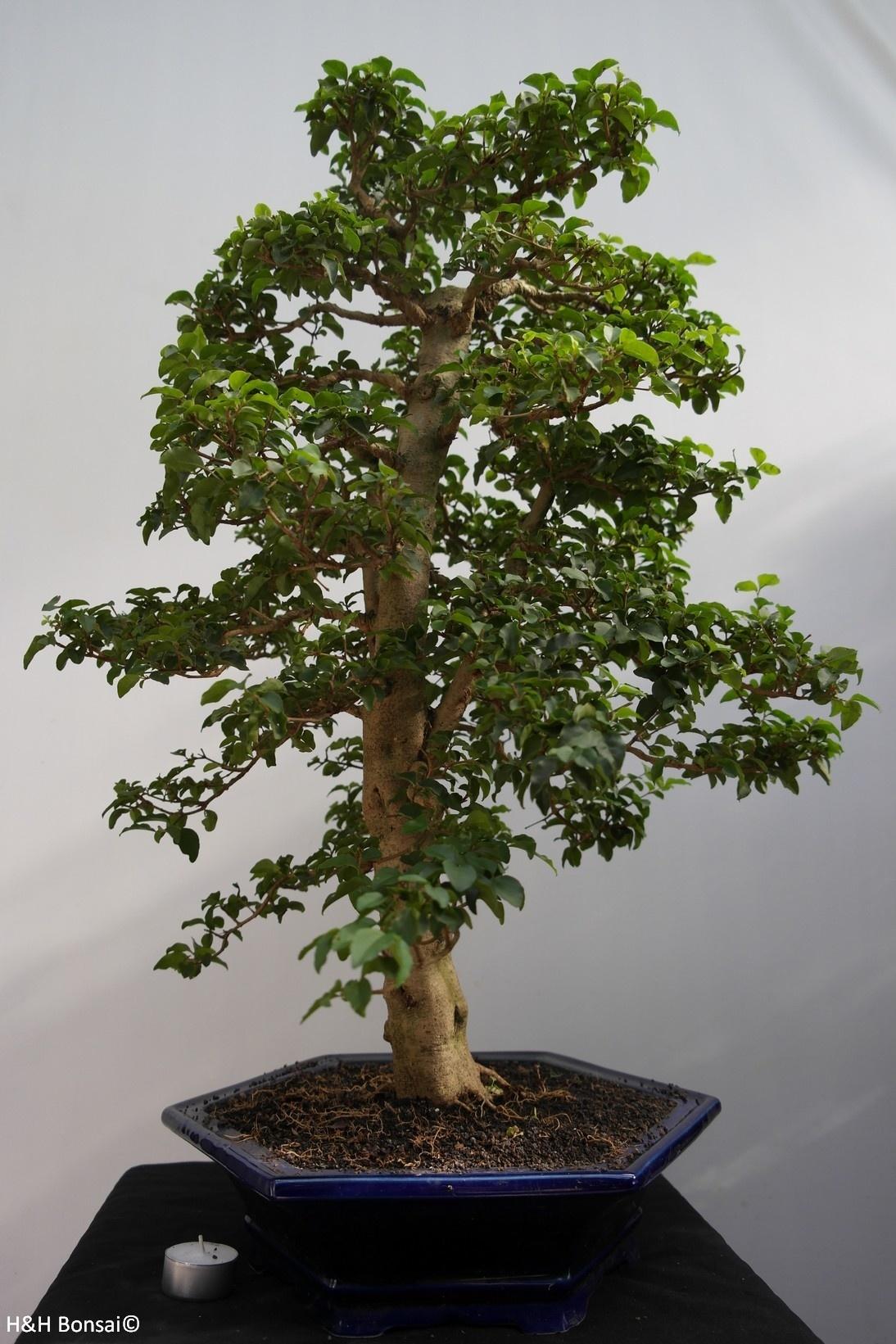 Bonsai Ligustro, Ligustrumsinense, no. 7844