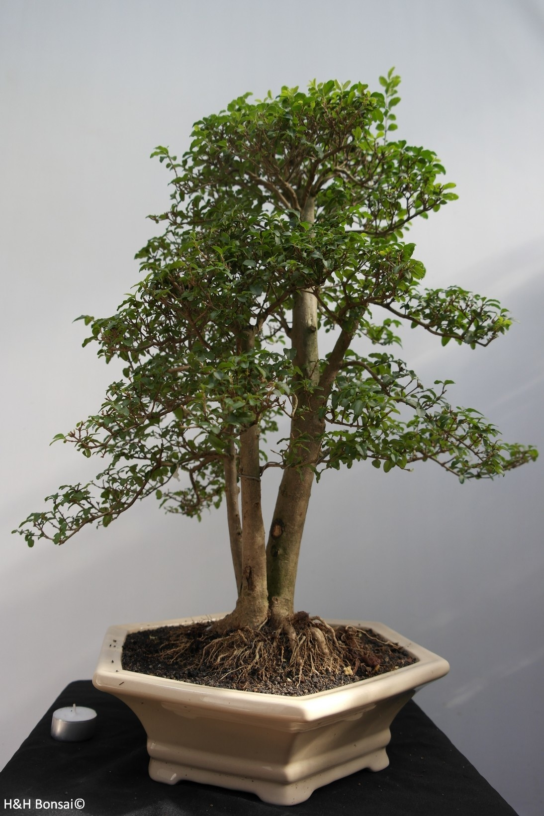 Bonsai Ligustro, Ligustrum sinense, no. 7845