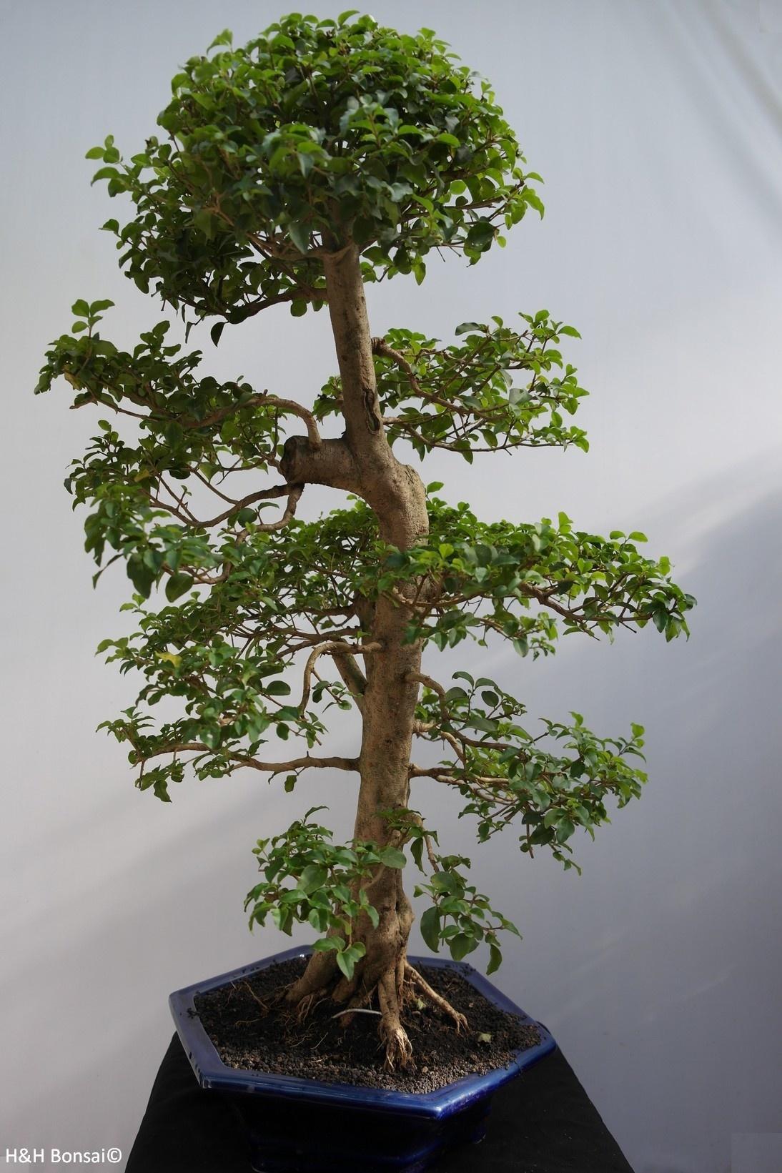 Bonsai Privet, Ligustrumsinense, no. 7846