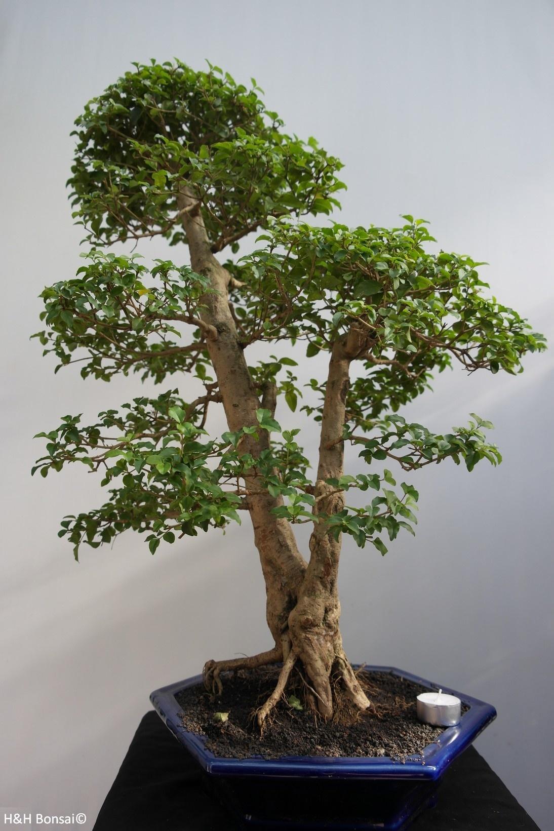 Bonsai Ligustro, Ligustrumsinense, no. 7846