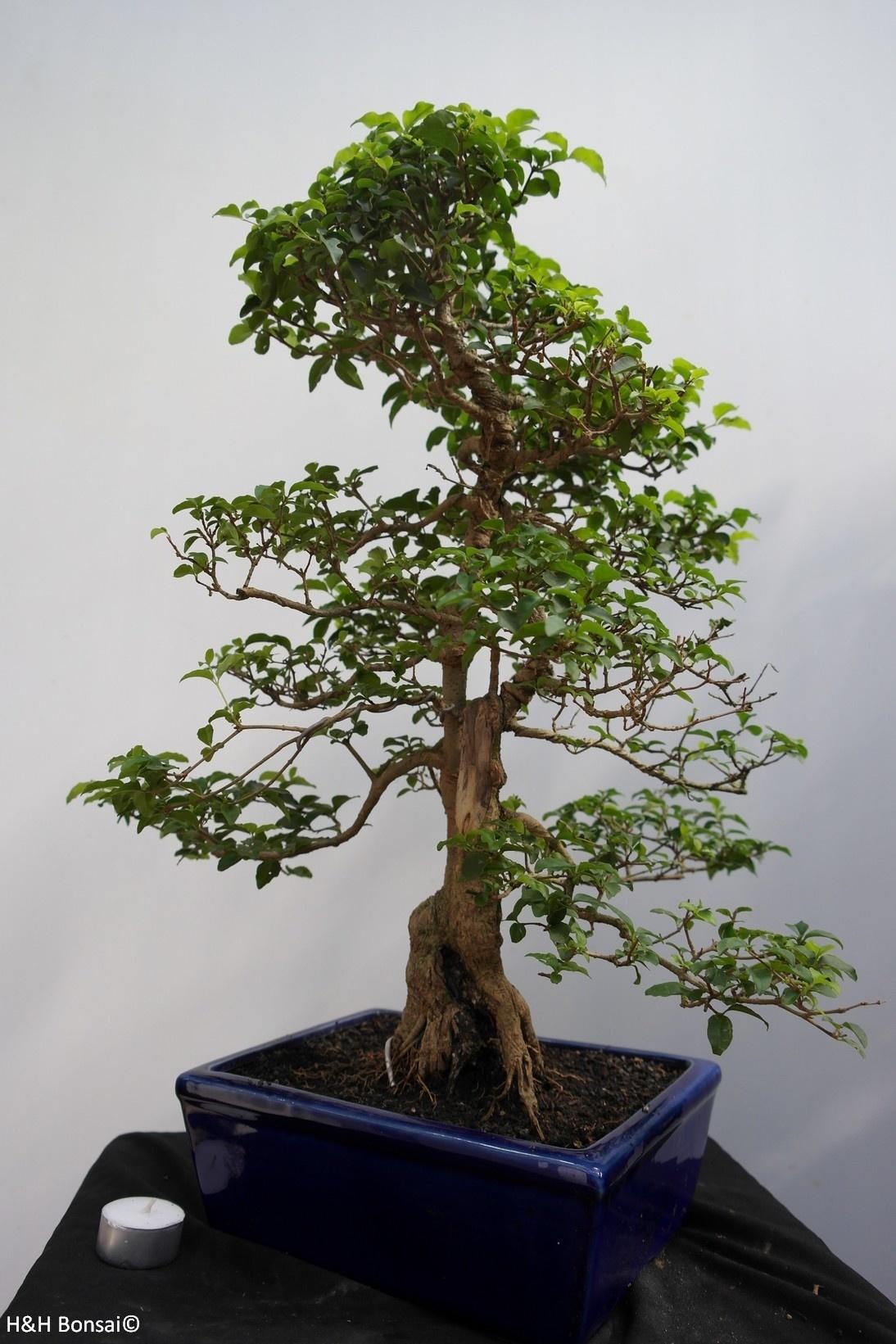 Bonsai Ligustro, Ligustrumsinense, no. 7849