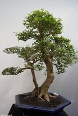 Bonsai Ligustro, Ligustrumsinense, no. 7850
