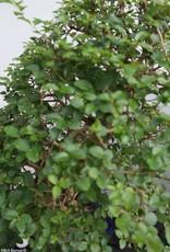 Bonsai Privet, Ligustrumsinense, no. 7850