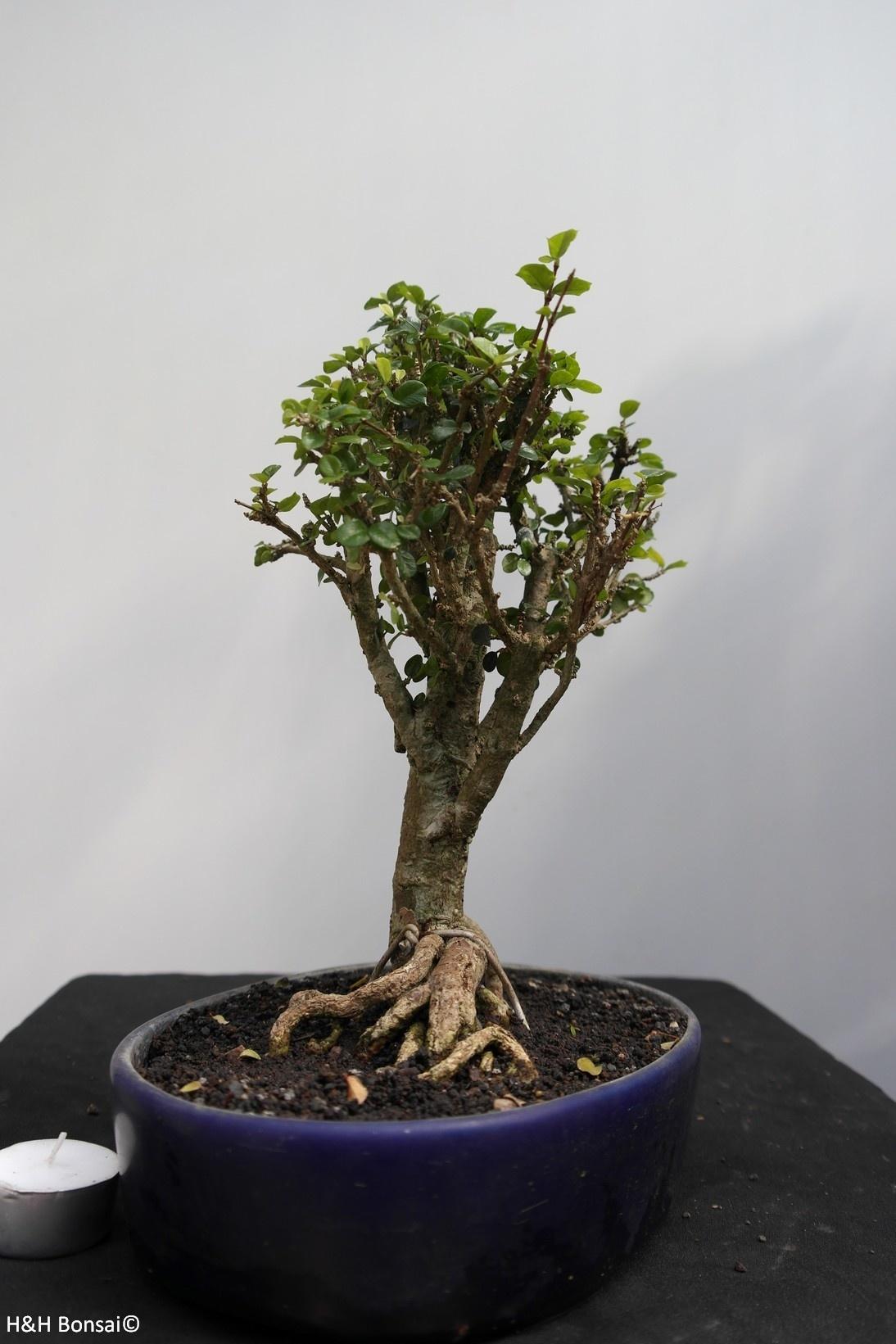 Bonsai Malpighia coccigera, no. 7851