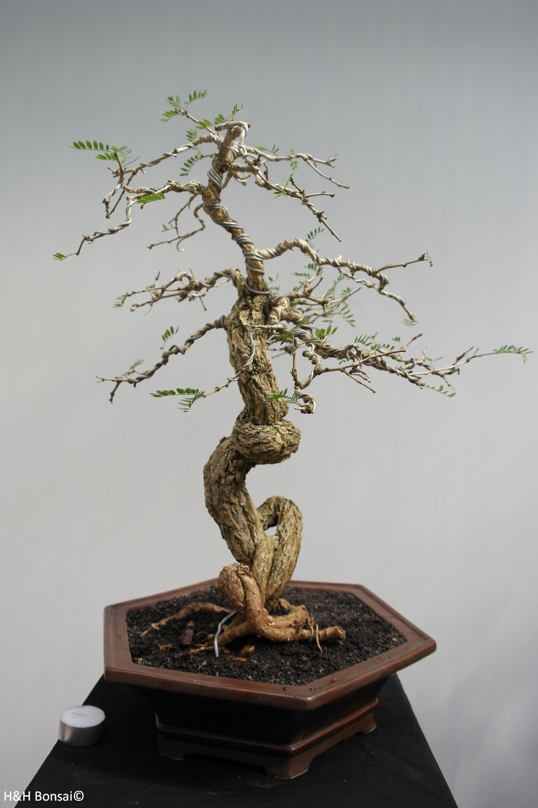 Bonsai Tamarinde, no. 7857