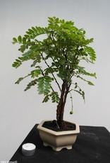 Bonsai Phyllanthus buxifolius, no. 7860