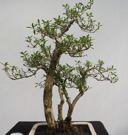 Bonsai Serissa foetida, no. 7861
