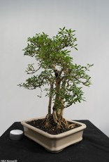 Bonsai Serissa foetida, no. 7862
