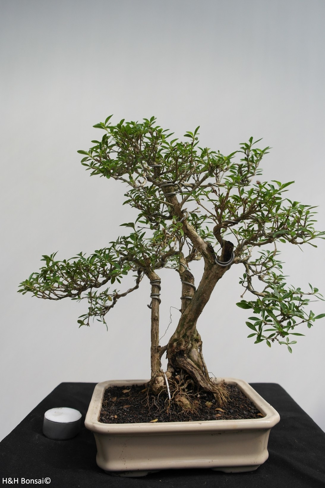 Bonsai Snow Rose, Serissa foetida, no. 7862