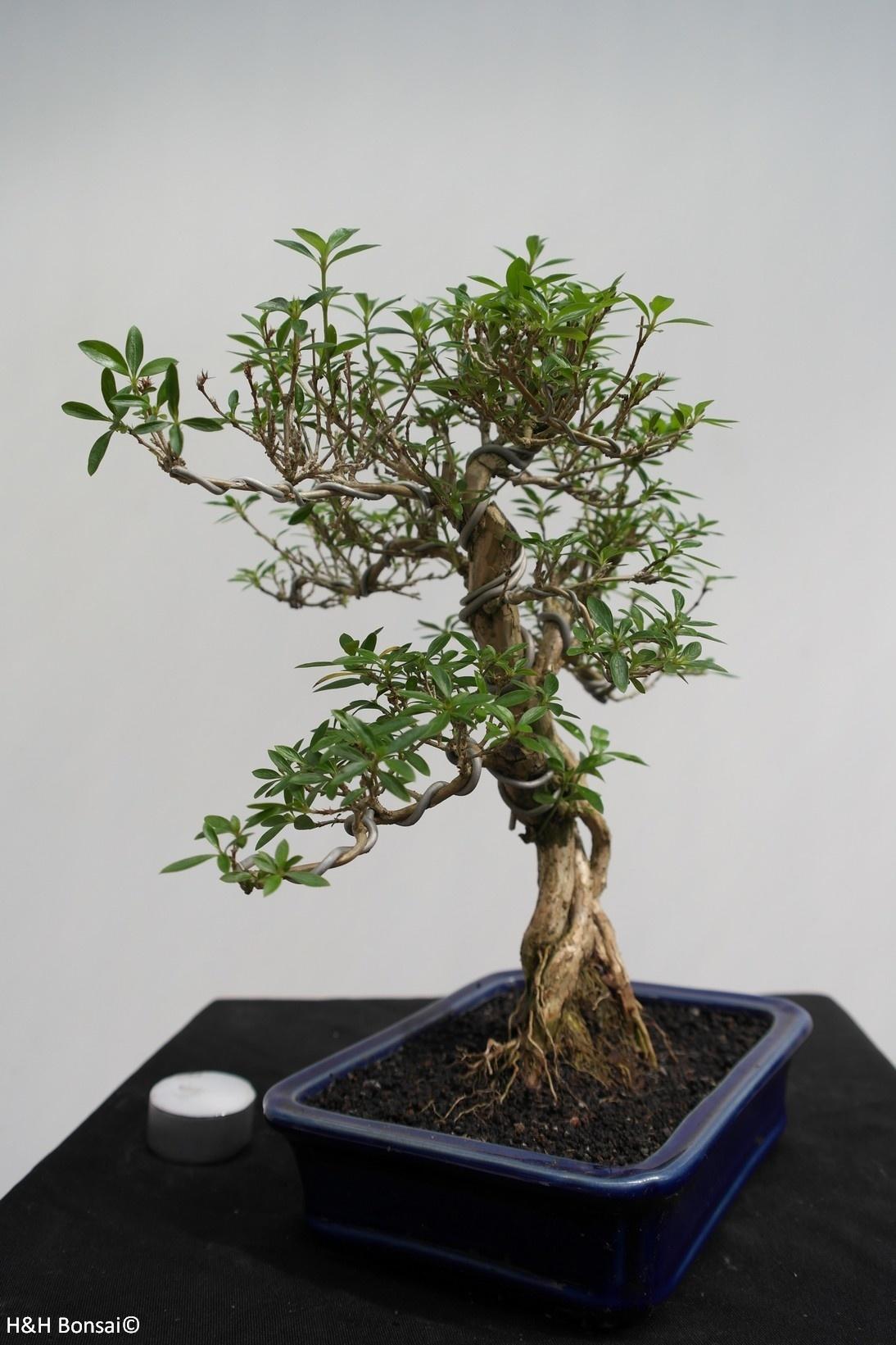 Bonsai Serissa foetida, no. 7863
