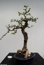 Bonsai Pianta del tè,Carmona macrophylla, no. 7864