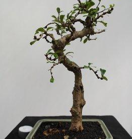 Bonsai Pianta del tè,Carmona macrophylla, no. 7865