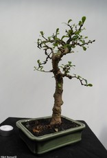 Bonsai Fukien Tea,Carmona macrophylla, no. 7865