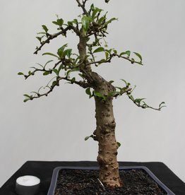 Bonsai Pianta del tè,Carmona macrophylla, no. 7866