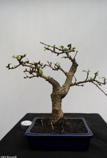 Bonsai Fukien Tea, Carmona macrophylla, no. 7867