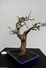 Bonsai Pianta del tè,Carmona macrophylla, no. 7867