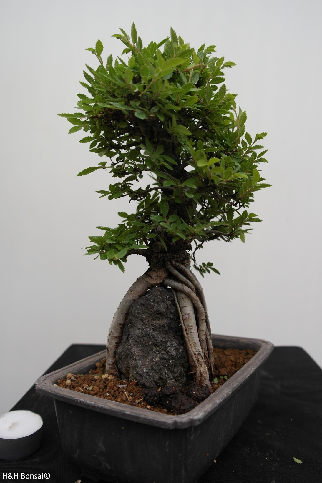 Bonsai Zelkova nire, no. 7347