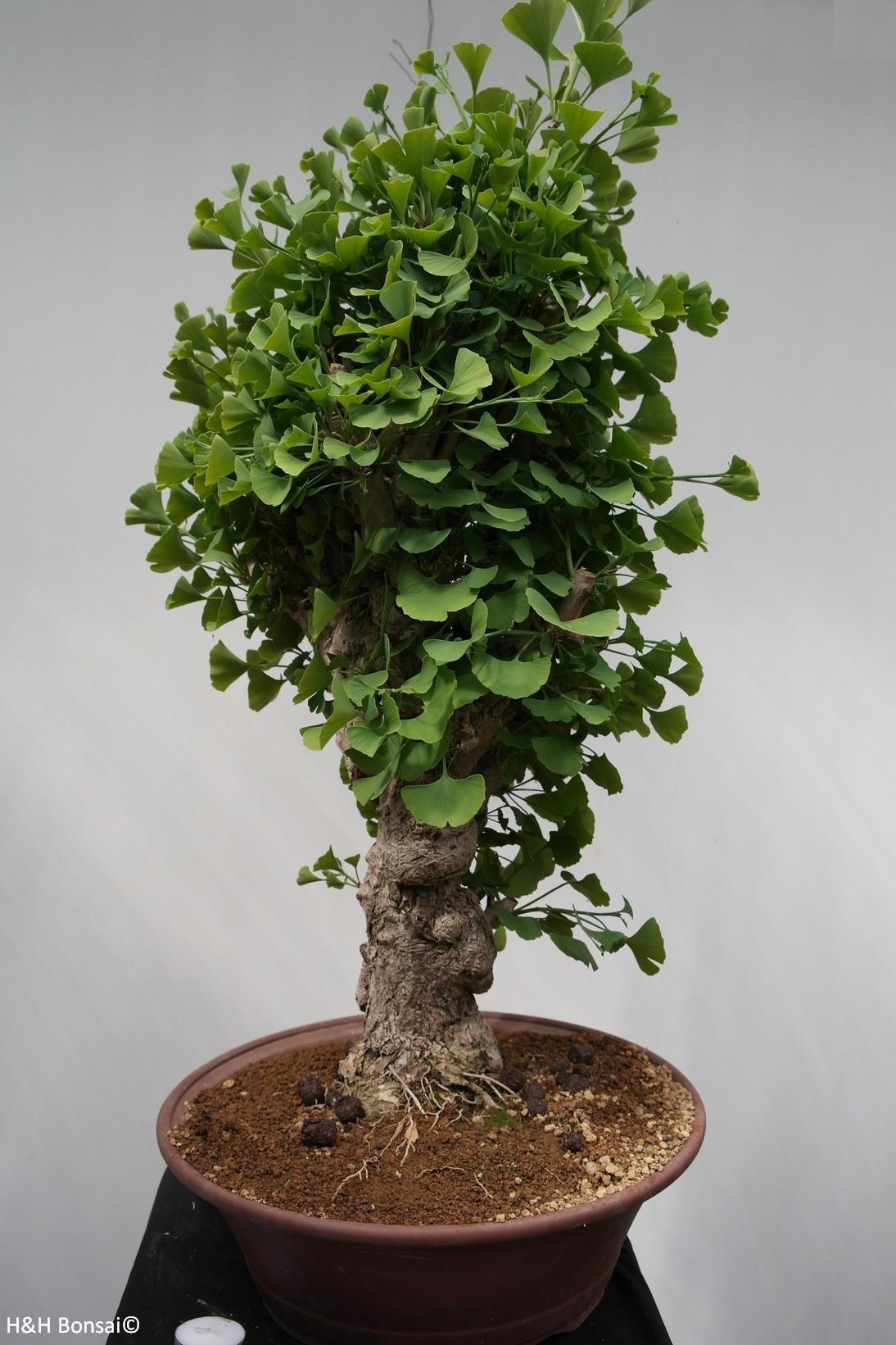 Bonsai Ginkgo biloba, no. 7351