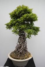 Bonsai Azalea Satsuki Shuho no Hikari, no. 7647