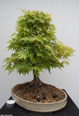 Bonsai Acero palmato, Acer palmatum, no. 7764