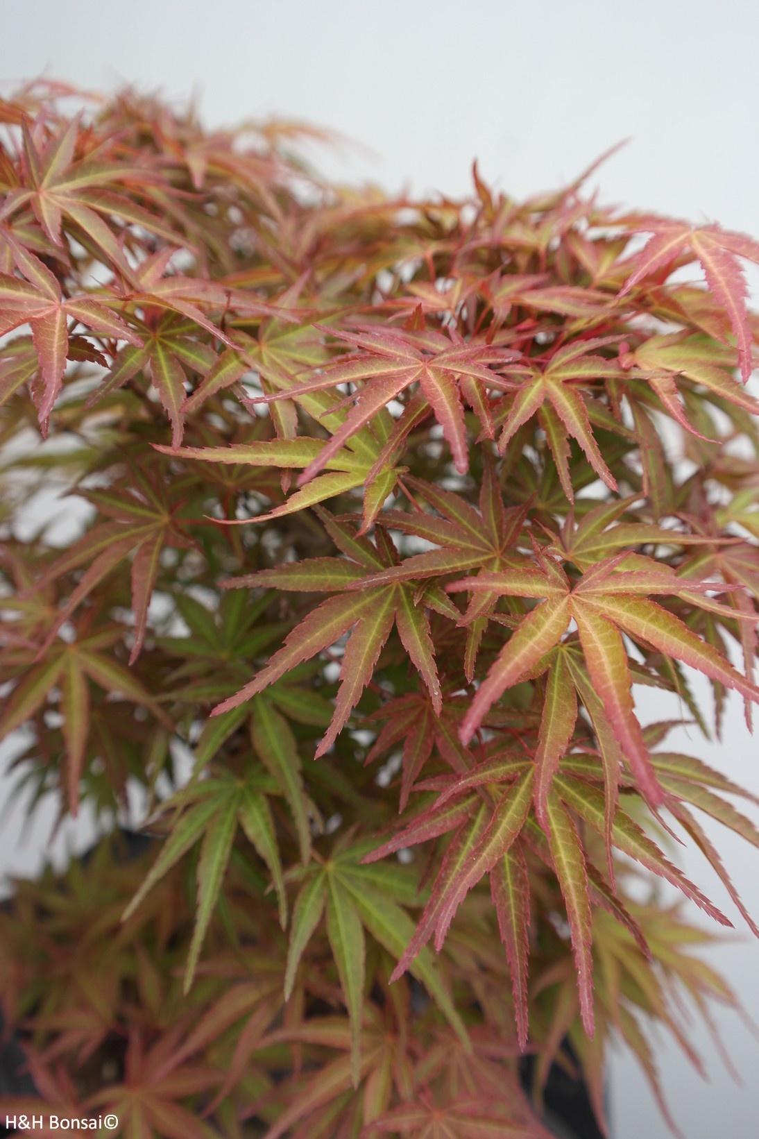 Bonsai Japanese Maple, Acer palmatum, no. 7766