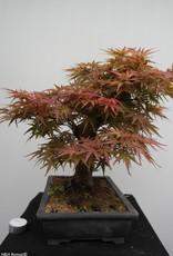 Bonsai Acero palmato, Acer palmatum, no. 7767