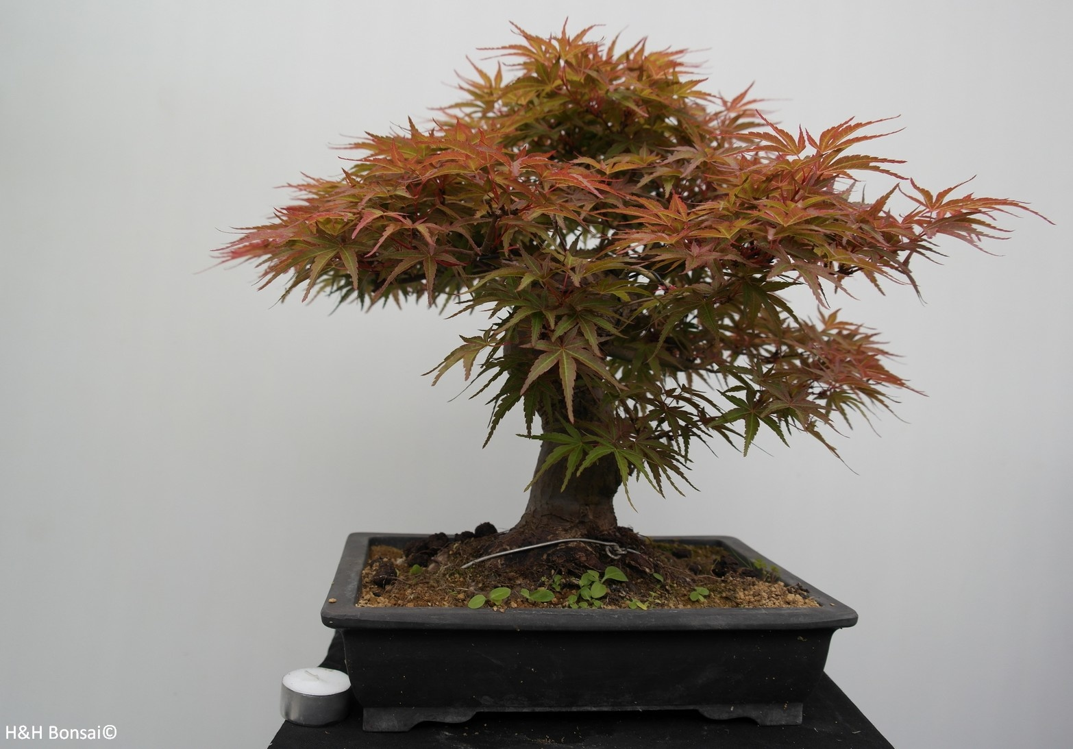 Bonsai Japanese Maple, Acer palmatum, no. 7767