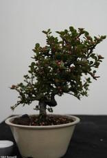 Bonsai Shohin Cotognastro, Cotoneaster, no. 7771