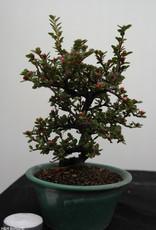 Bonsai Shohin Cotognastro, Cotoneaster, no. 7772