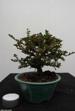 Bonsai Shohin Cotognastro, Cotoneaster, no. 7773