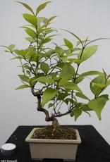 Bonsai Callicarpa japonica, no. 7783