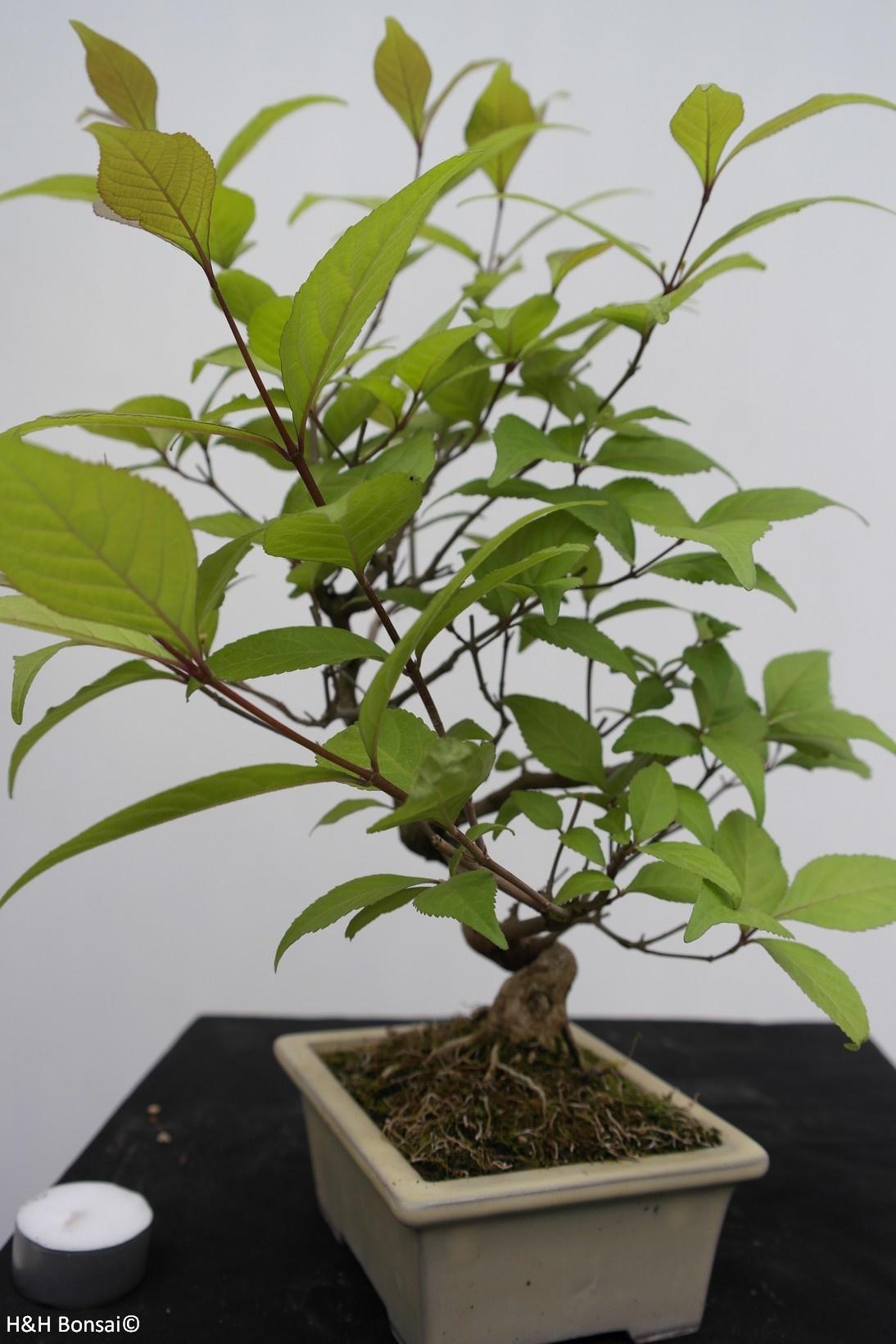 Bonsai Japanese Beautyberry, Callicarpa japonica, no. 7783