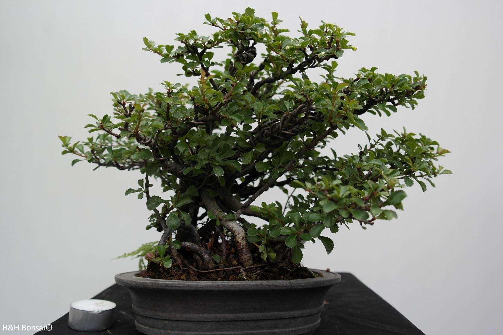 Bonsai Cotogno giapponese, Chaenomeles japonica, no. 7796