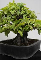 Bonsai Cotogno cinese, Pseudocydonia sinensis, no. 7801