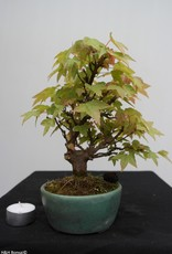 Bonsai Shohin Trident maple, Acer buergerianum, no. 7516