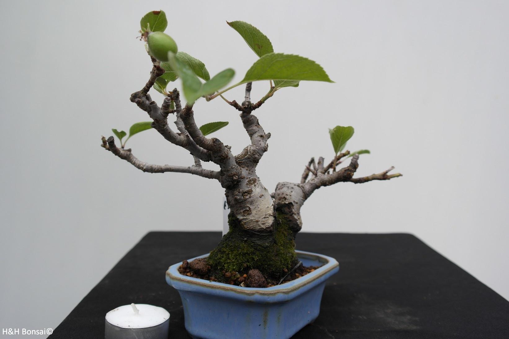 Bonsai Shohin Crabapple,Malus, no. 7518