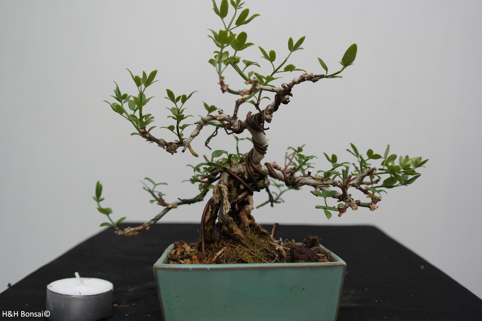 Bonsai ShohinGelsomino d'inverno, Jasminum nudiflorum, no. 7528