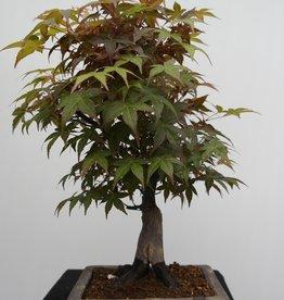 Bonsai Acero deshojo, Acer palmatum deshojo, no. 7650