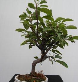 Bonsai Melo, Malus halliana, no. 7666