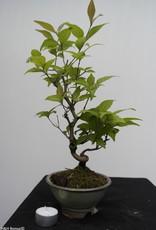 Bonsai Callicarpa japonica, no. 7768