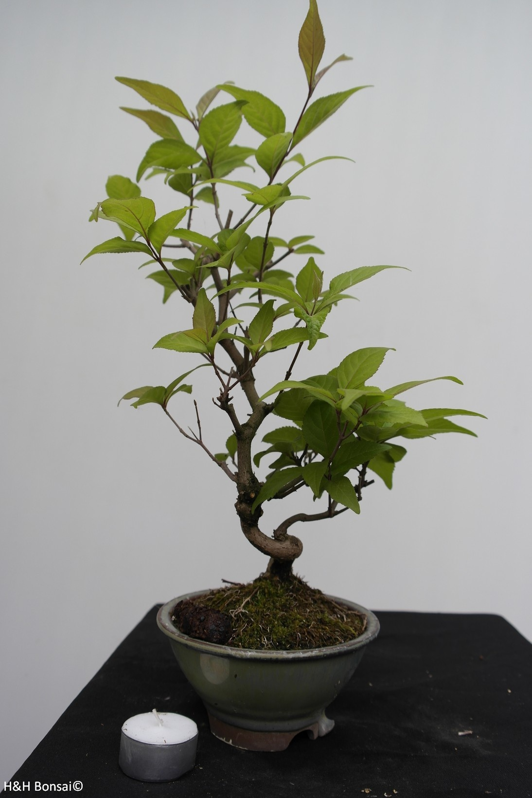 Bonsai Japanese Beautyberry, Callicarpa japonica, no. 7768