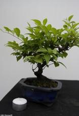 Bonsai Shohin Styrax japonicus,no. 7769