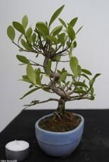 Bonsai Shohin Gardenia jasminoides, no. 7774