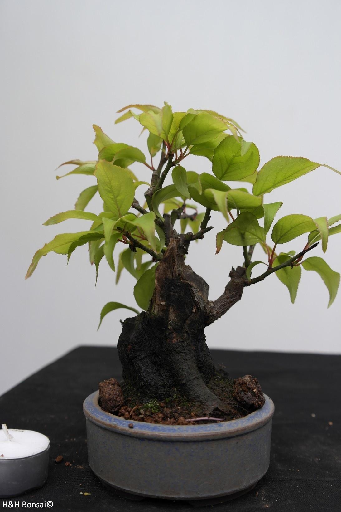 Bonsai Shohin di Albicocco giapponese, Prunus mume, no. 7779