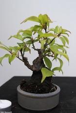 Bonsai Shohin Japanese Apricot, Prunus mume, no. 7779