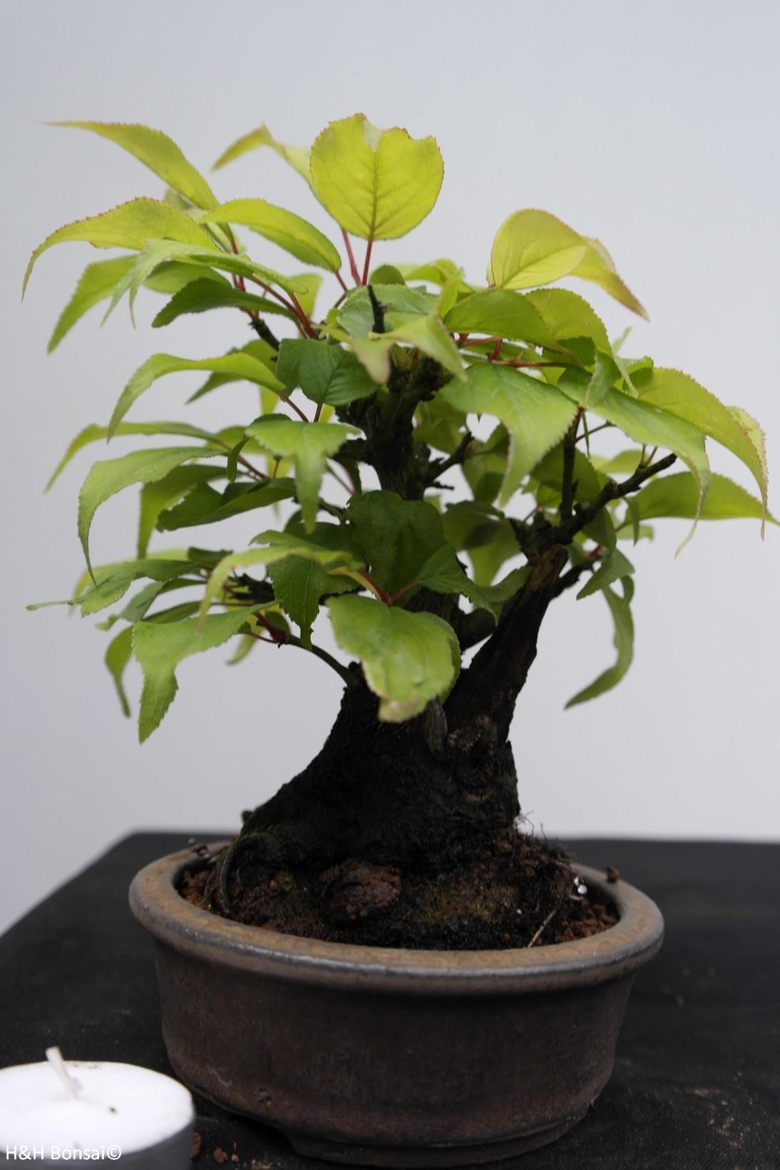 Bonsai Shohin di Albicocco giapponese, Prunus mume, no. 7780