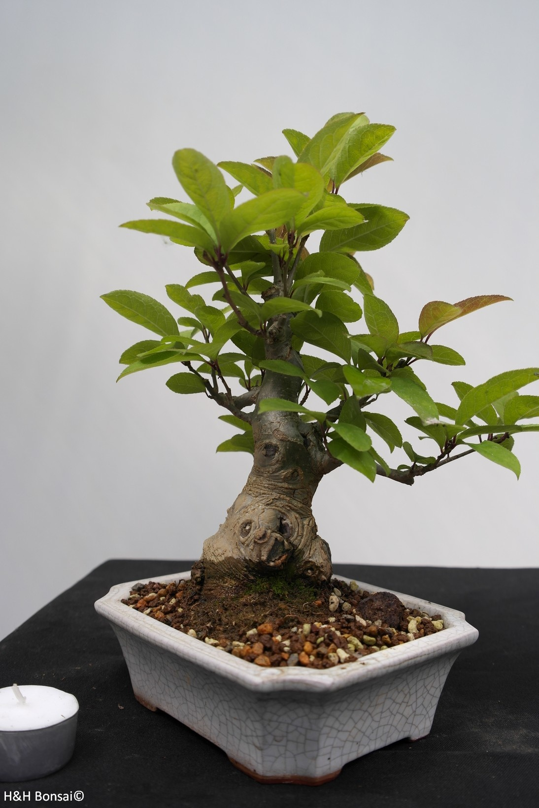 Bonsai Shohin Japanese Winterberry, Ilex serrata, no. 7781