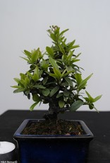 Bonsai Shohin Piracanta,Pyracantha, no. 7784