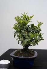 Bonsai Shohin Piracanta, Pyracantha, no. 7785